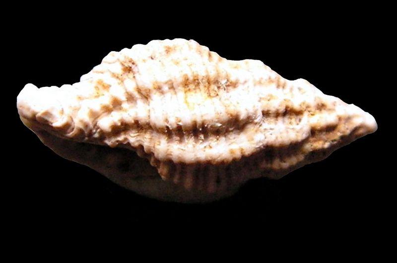 Pisaniidae - † Pollia fischeri (Benoist, 1873)  Polifish13