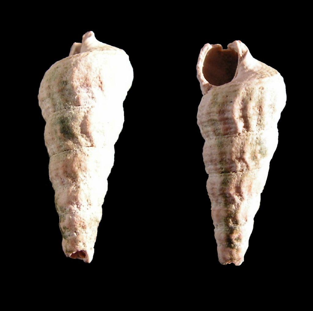 Potamitidae - † Potamides scalaroides (Deshayes, 1833) - Lutétien Potascal10