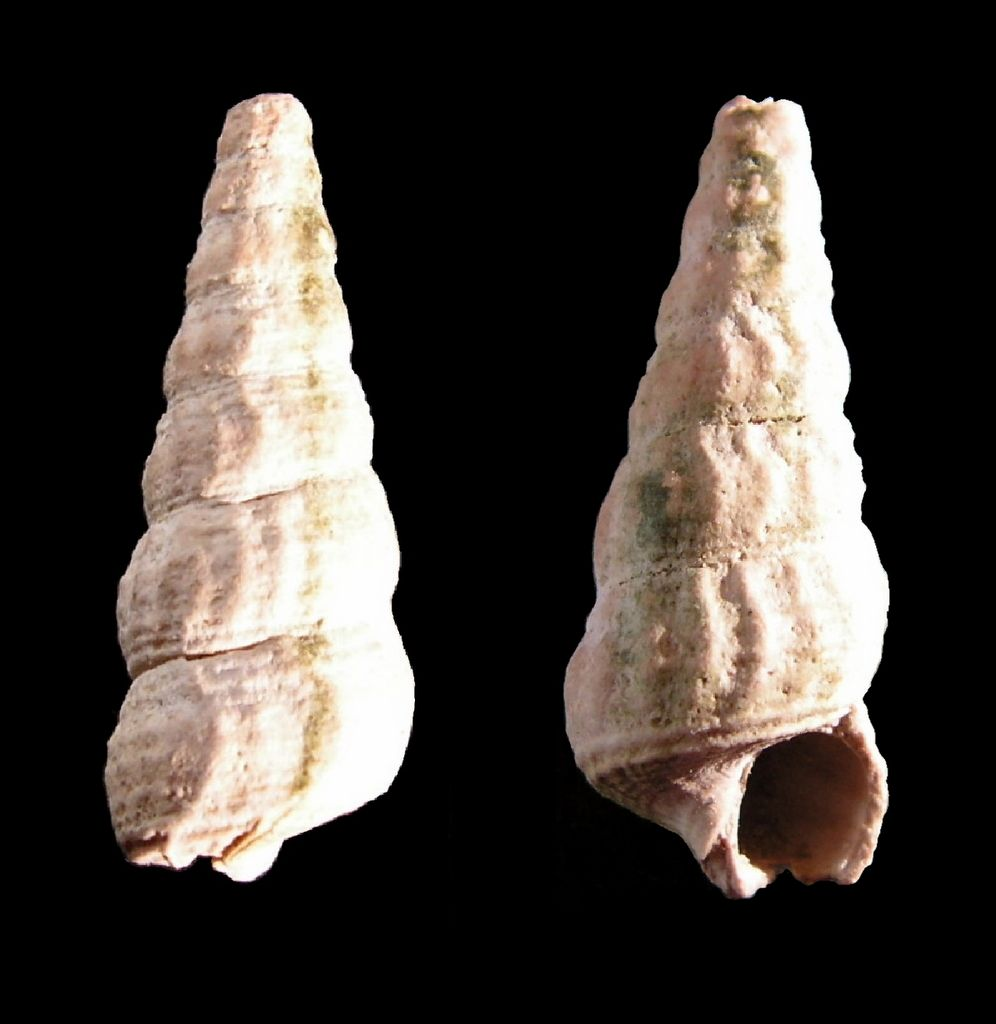 Potamitidae - † Potamides scalaroides (Deshayes, 1833) - Lutétien Potascal11