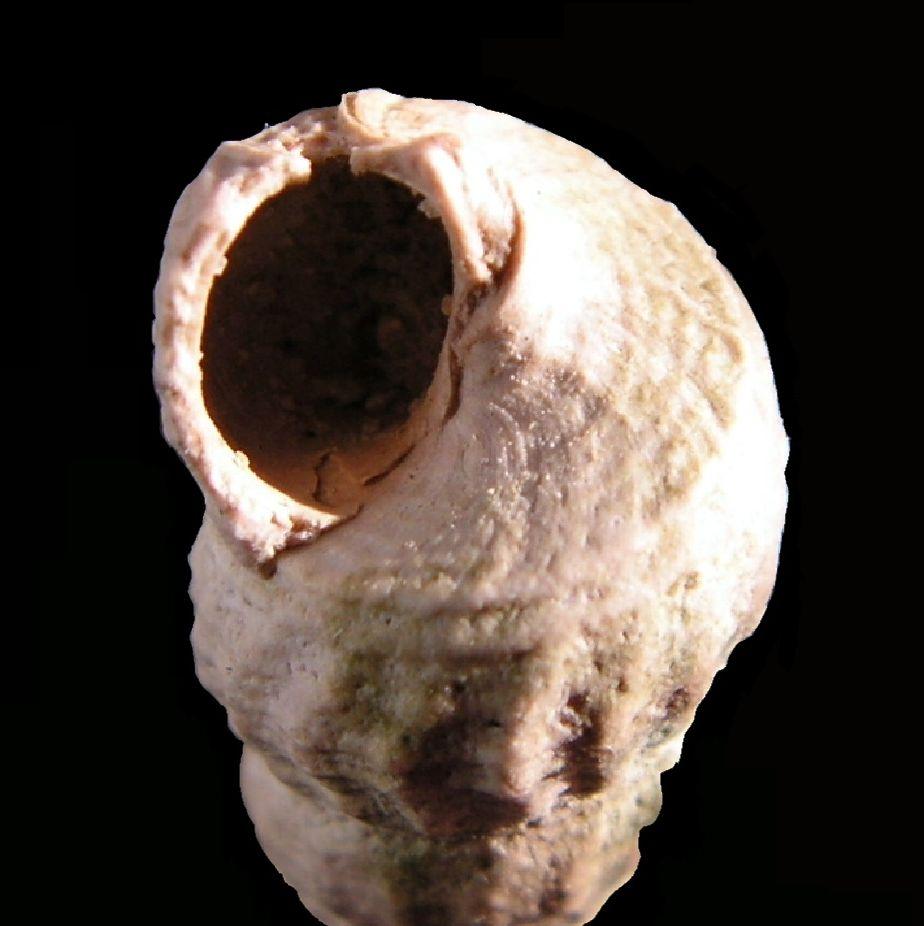 Potamitidae - † Potamides scalaroides (Deshayes, 1833) - Lutétien Potascal12