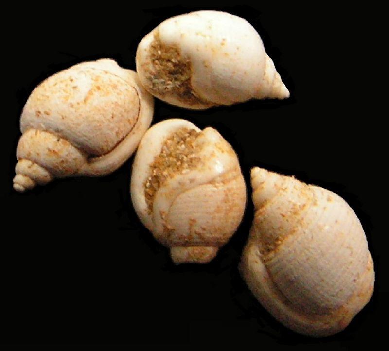 Cephalaspidea - Ringiculidae - † Ringicula major (GRATELOUP, 1838) - Miocène, Serravalien (?) Ringmajo17