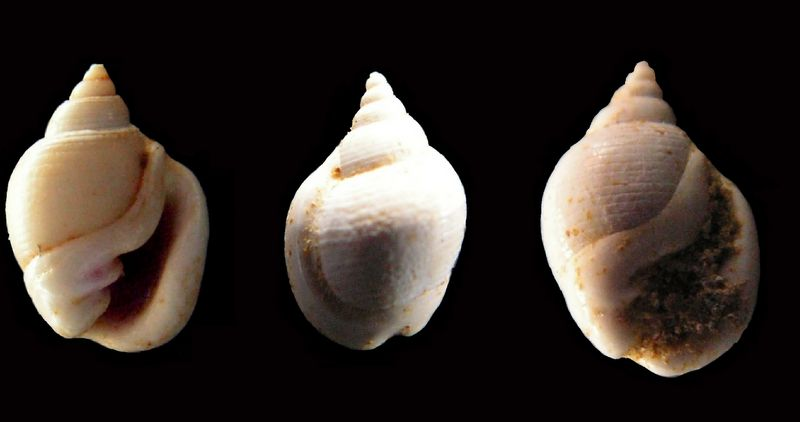 Cephalaspidea - Ringiculidae - † Ringicula major (GRATELOUP, 1838) - Miocène, Serravalien (?) Ringmajo19