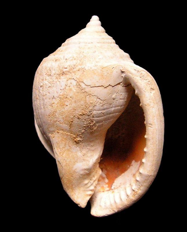 Cassidae - † Semicassis grateloupi f. varicigena (Cossmann et Peyrot, 1924) - Burdigalien de Gironde Semgravar12