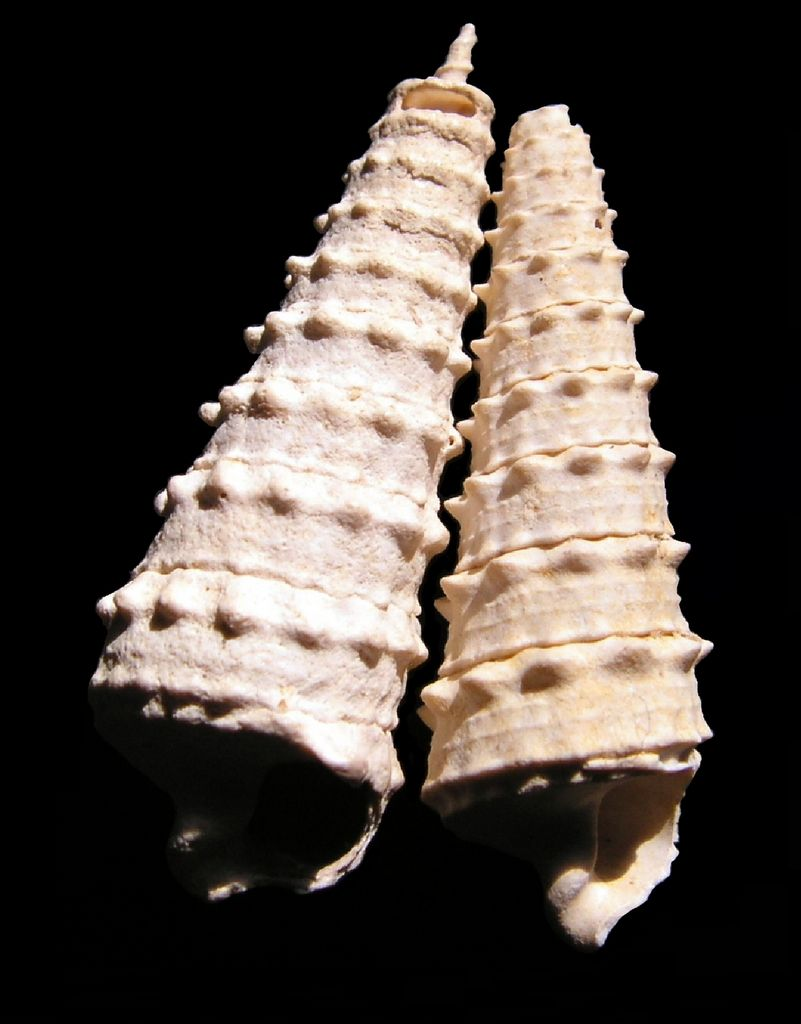 Cerithiidae - † Serratocerithium brocchi (Deshayes, 1833) Ceribroc10