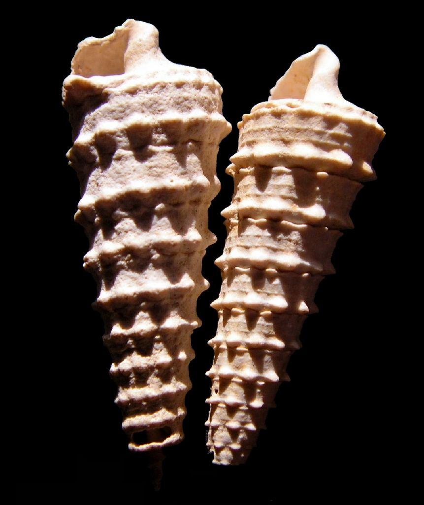 Cerithiidae - † Serratocerithium brocchi (Deshayes, 1833) Ceribroc11