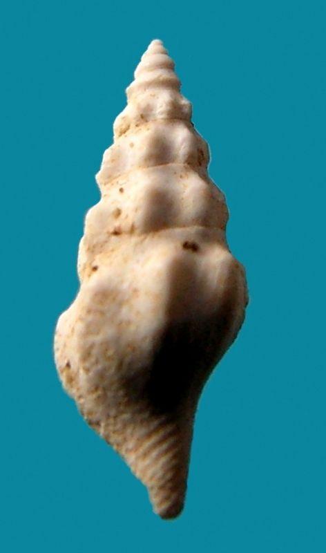 Fasciolariidae -  † Streptochetus crassicostatus (Deshayes, 1835) Strecras11