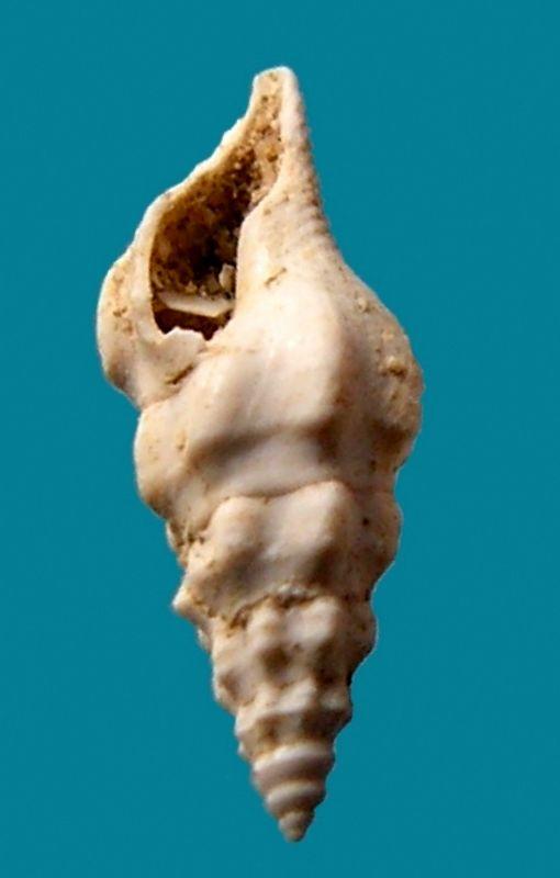 Fasciolariidae -  † Streptochetus crassicostatus (Deshayes, 1835) Strecras12