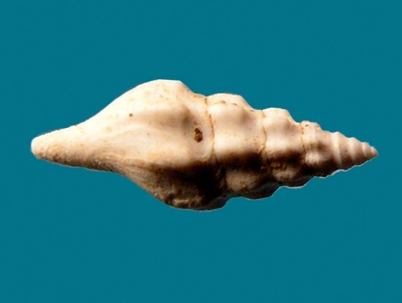 Fasciolariidae -  † Streptochetus crassicostatus (Deshayes, 1835) Strecras_0