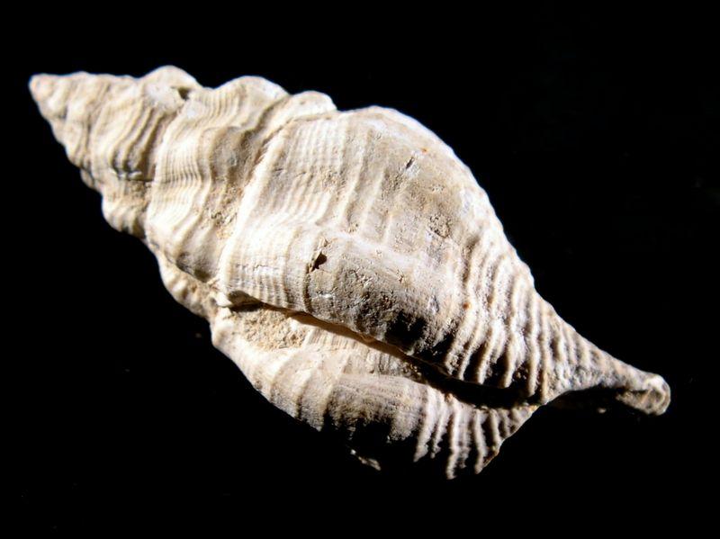 Fasciolariidae - † Streptochetus intortus (Lamarck, 1803) - (Bassin Parisien) Streinto11
