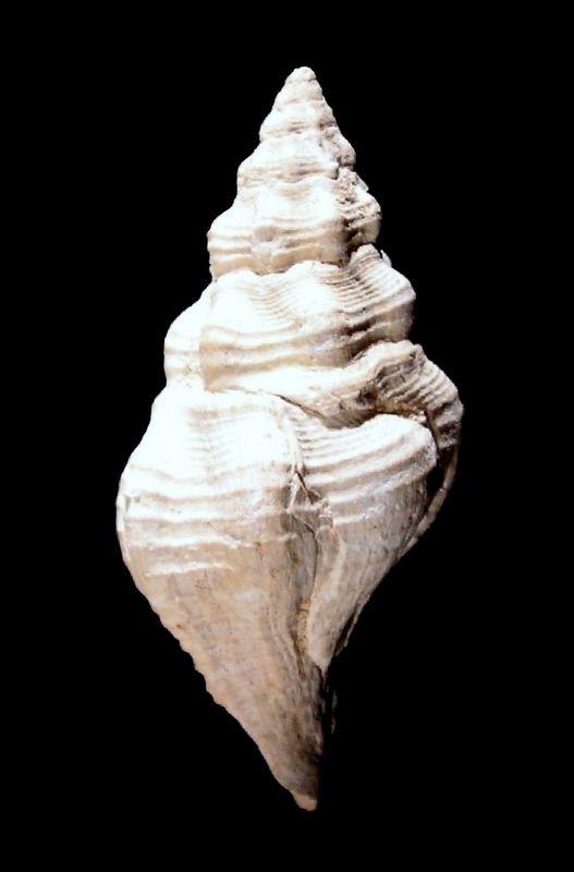 Fasciolariidae - † Streptochetus intortus (Lamarck, 1803) - (Bassin Parisien) Streinto12