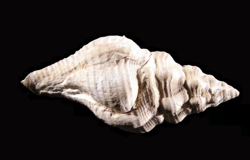 Fasciolariidae - † Streptochetus intortus (Lamarck, 1803) - (Bassin Parisien) Streinto15