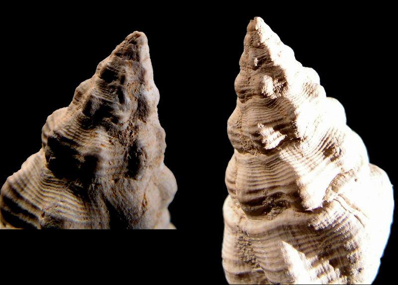 Fasciolariidae - † Streptochetus intortus (Lamarck, 1803) - (Bassin Parisien) Streinto_0