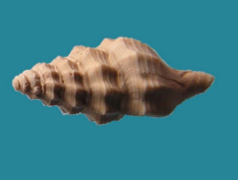 Fasciolariidae - † Streptochetus obliquatus (Deshayes, 1835) - Eocène (environs de Paris)  Streobli10