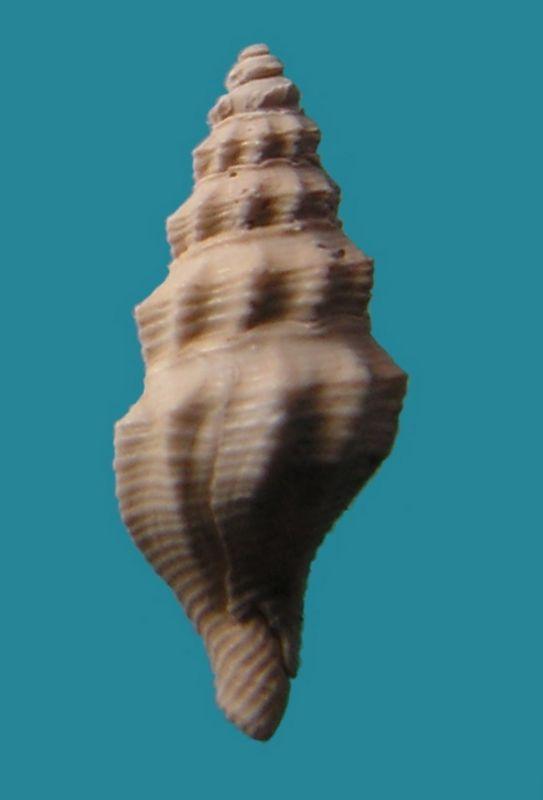 Fasciolariidae - † Streptochetus obliquatus (Deshayes, 1835) - Eocène (environs de Paris)  Streobli12