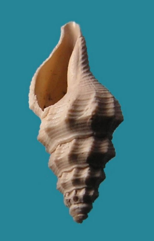 Fasciolariidae - † Streptochetus obliquatus (Deshayes, 1835) - Eocène (environs de Paris)  Streobli13