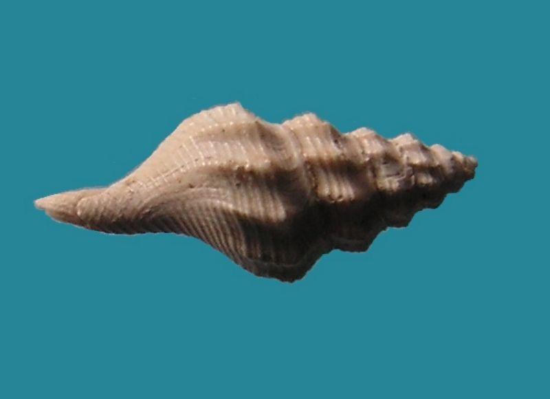 Fasciolariidae - † Streptochetus obliquatus (Deshayes, 1835) - Eocène (environs de Paris)  Streobli14