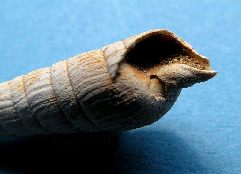 Terebridae - † Subula (Oxymeris) plicaria (Basterot, 1825) - Burdigalien Subuplic_0