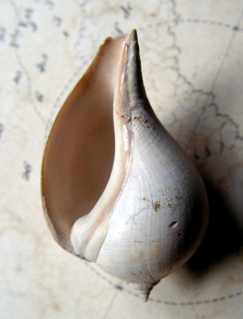 Melongenidae - † Sycostoma bulbus (Solander in Brander, 1803) - Lutécien (Damery 51 F.) Sycostoma_bulbus12