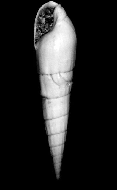 Terebridae - † Terebra (Hastula) subcinerea (d' Orbigny, 1852) - Burdigalien (St Martin d'Oney 40) Teresubc11