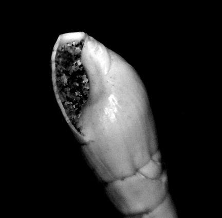 Terebridae - † Terebra (Hastula) subcinerea (d' Orbigny, 1852) - Burdigalien (St Martin d'Oney 40) Teresubc12