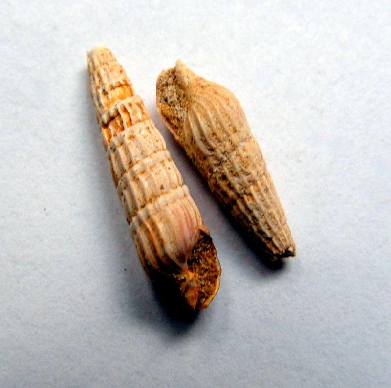 Terebridae - † Terebra basteroti (Nyst, 1843) - Burdigalien de l' Aquitain Terebast10