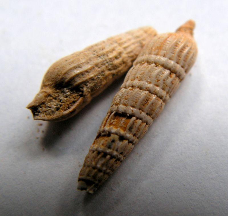 Terebridae - † Terebra basteroti (Nyst, 1843) - Burdigalien de l' Aquitain Terebast_0