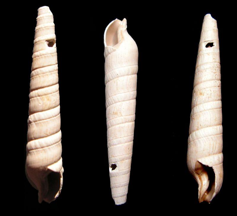 Terebridae - † Terebra (Subula) fuscata fuscata (Brocchi, 1814) - Burdigalien Terefusc10