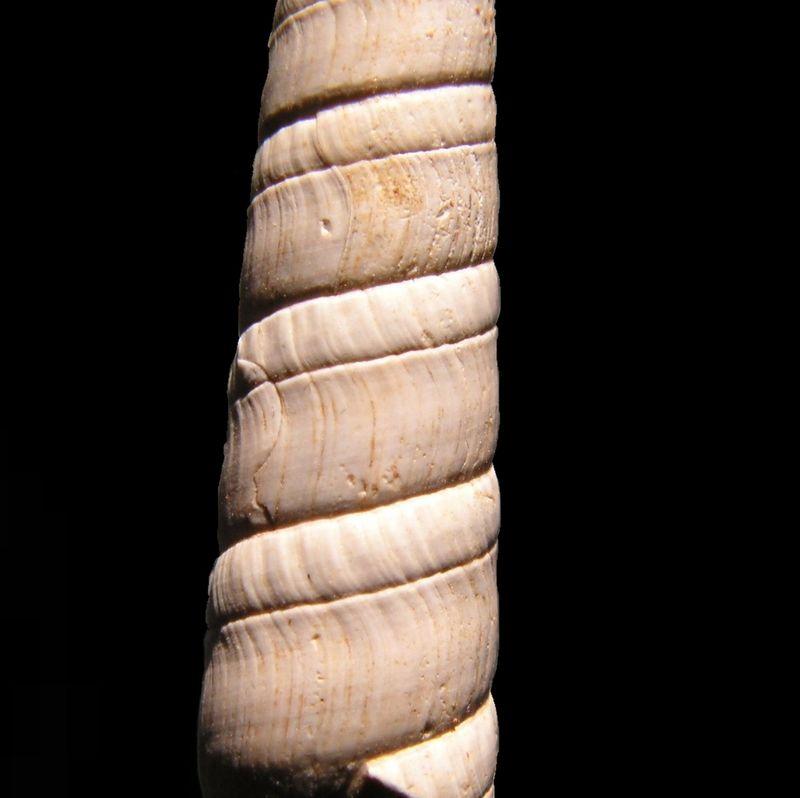 Terebridae - † Terebra (Subula) fuscata fuscata (Brocchi, 1814) - Burdigalien Terefusc11