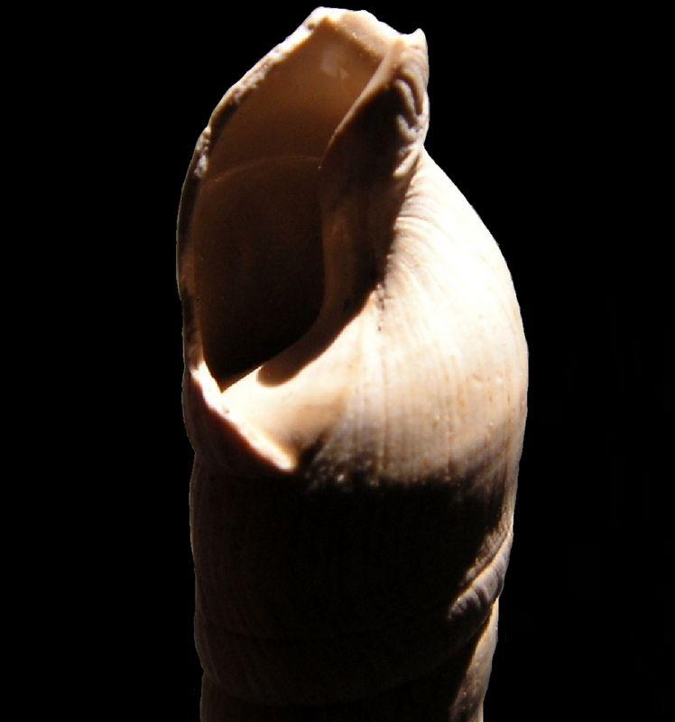 Terebridae - † Terebra (Subula) fuscata fuscata (Brocchi, 1814) - Burdigalien Terefusc12