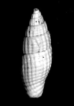 Costellariidae - † Thala minutecancellata (Degrange-Touzin, 1894) - (St Martin d'Oney 40) Thalminu11