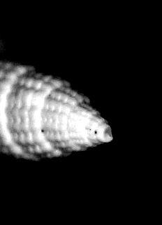 Costellariidae - † Thala minutecancellata (Degrange-Touzin, 1894) - (St Martin d'Oney 40) Thalminu_0