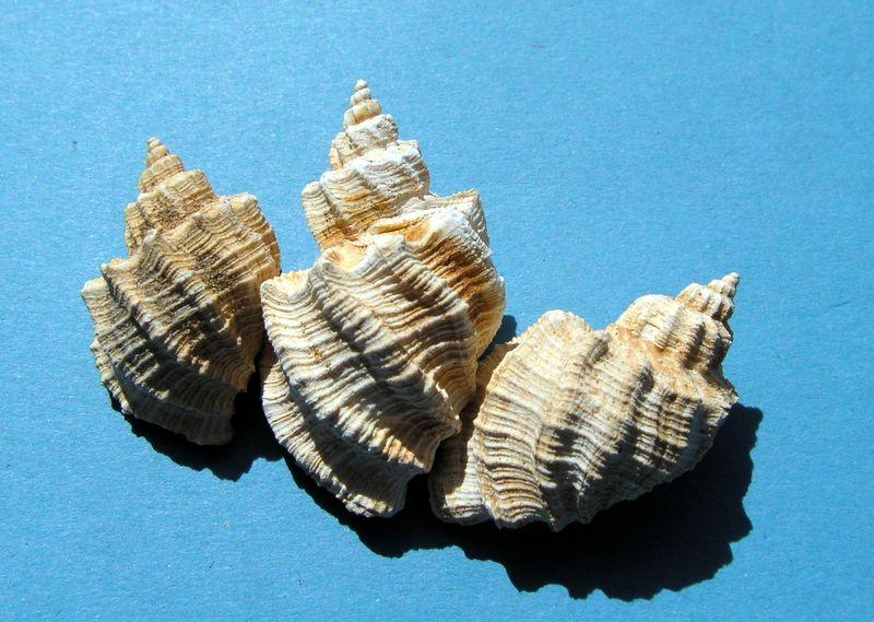 Cancellariidae - † Trigonostoma (Ventrilia) acutangulus (Faujas de St Fond, 1817) - Burdigalien Trigacut11