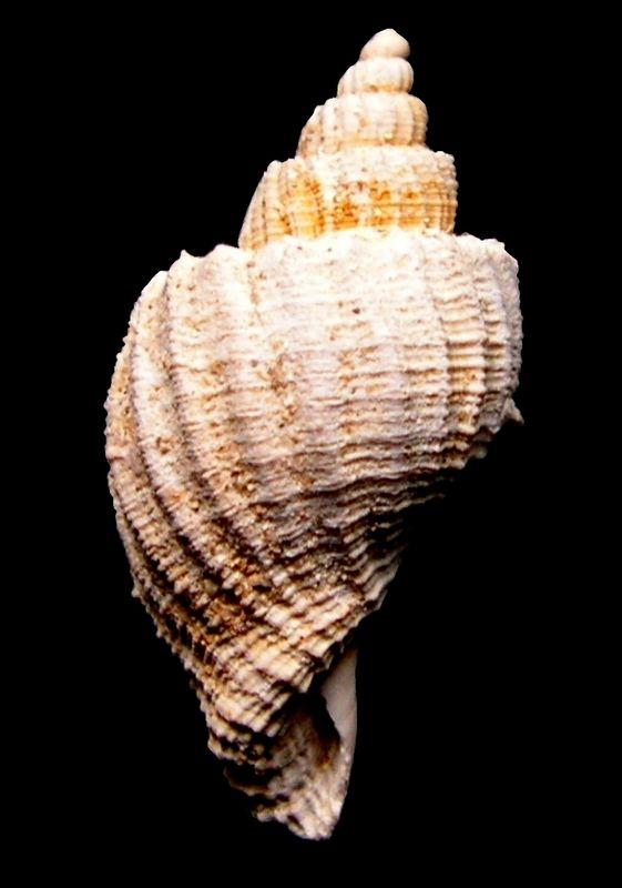 Cancellariidae - † Trigonostoma (Ventrilia) burdigalense (Peyrot, 1925) - Burdigalien Trigburd11
