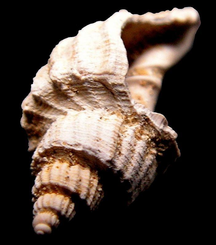 Cancellariidae - † Trigonostoma (Ventrilia) burdigalense (Peyrot, 1925) - Burdigalien Trigburd14