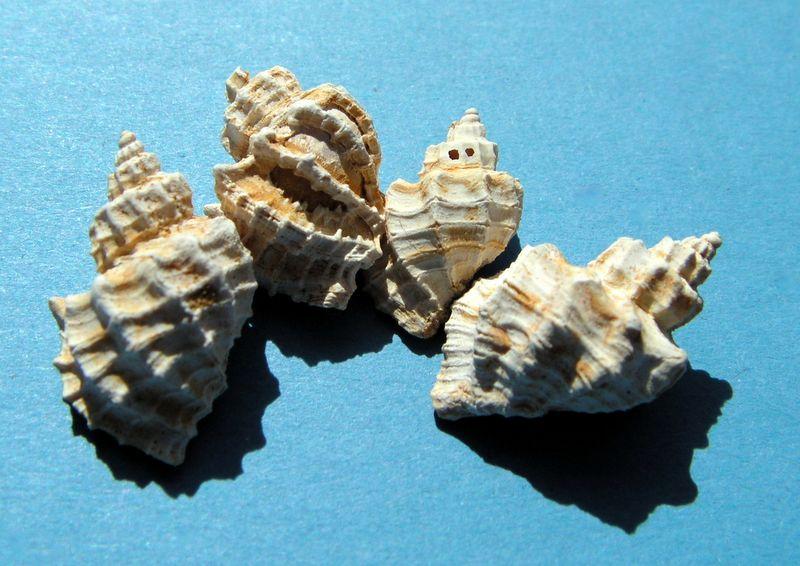 Cancellariidae - † Trigonostoma geslini (Basterot, 1825) - Burdigalien sup. Trigesli10