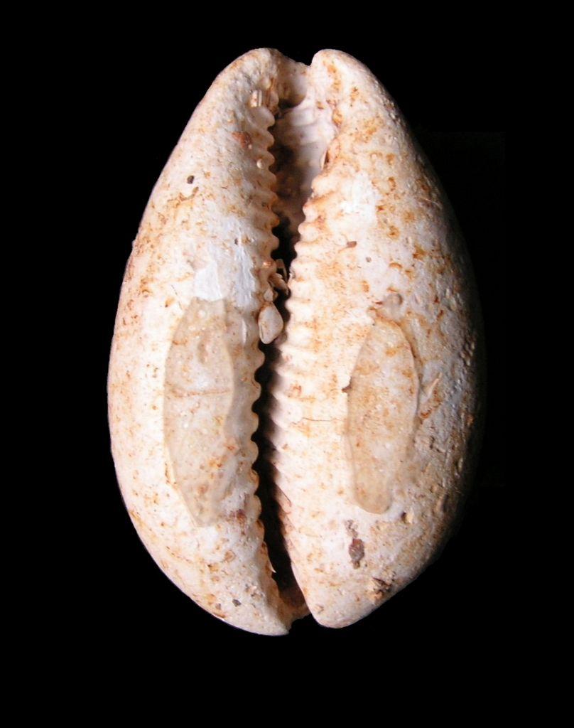 Cypraeidae - † Trona leporina (Lamarck, 1810) - Burdigalien (Landes) P_tronlepo12