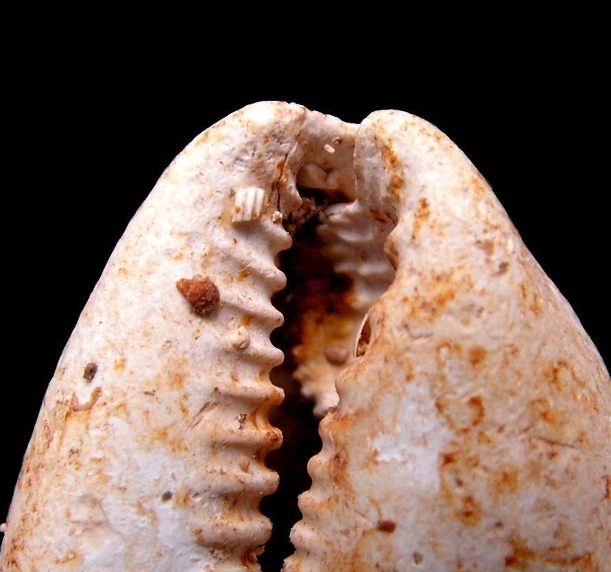 Cypraeidae - † Trona leporina (Lamarck, 1810) - Burdigalien (Landes) P_tronlepo_0