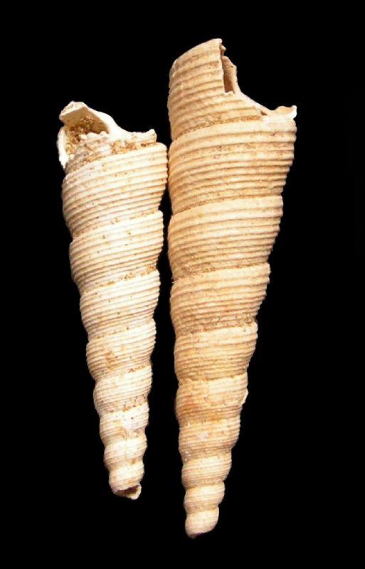 Turritellidae - † Turritella (Haustator) venus (d'Orbigny, 1852)  Turrvenu11