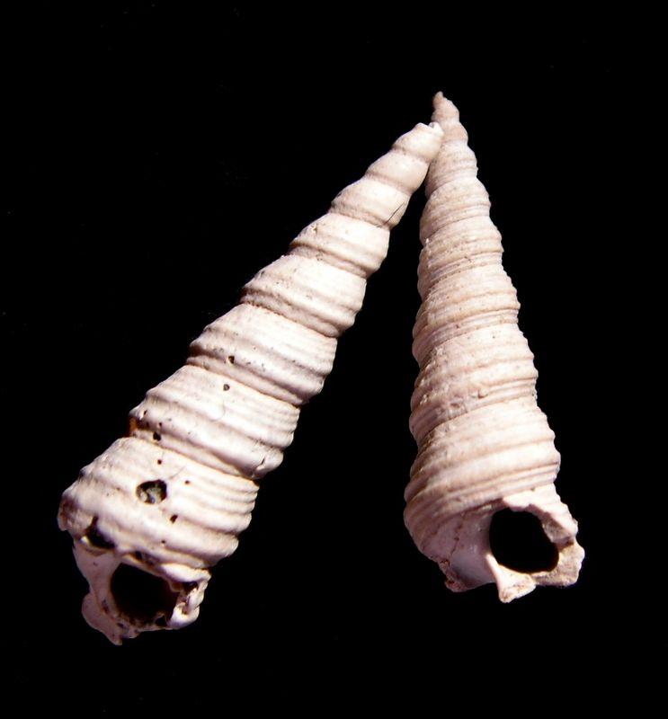 Turritellidae - † Turritella (Haustator) bicarinata (Elchwald, 1830) - Burdigalien ou Langhien ? (Bassin Aquitain)  Turrbica10