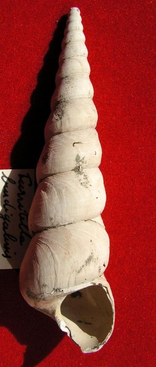 Turritellidae - † Turritella burdigalensis - (Martillac 33) Turrburd11