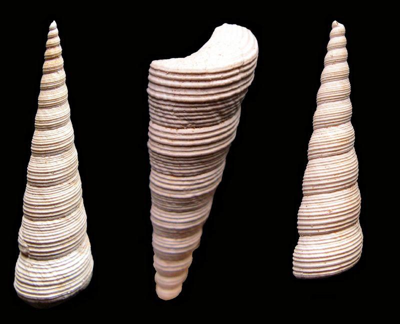 Turritellidae - † Turritella (Haustator) eryna var polycosmeta Cossmann & Peyrot, 1922 - Aquitanien & Burdigalien Turerypoly_0