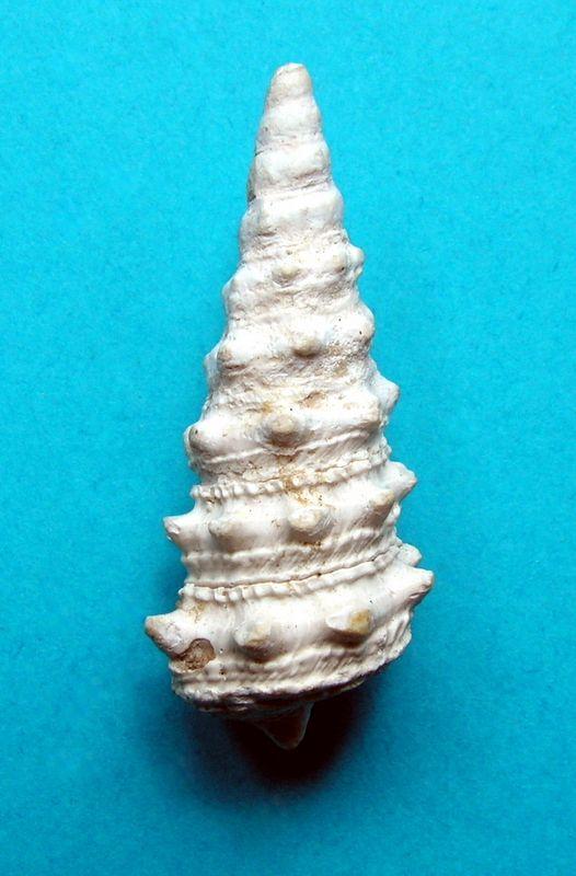 Potamitidae - † Tympanotonus funatus (Sowerby, 1814) (?) Tympfuna12
