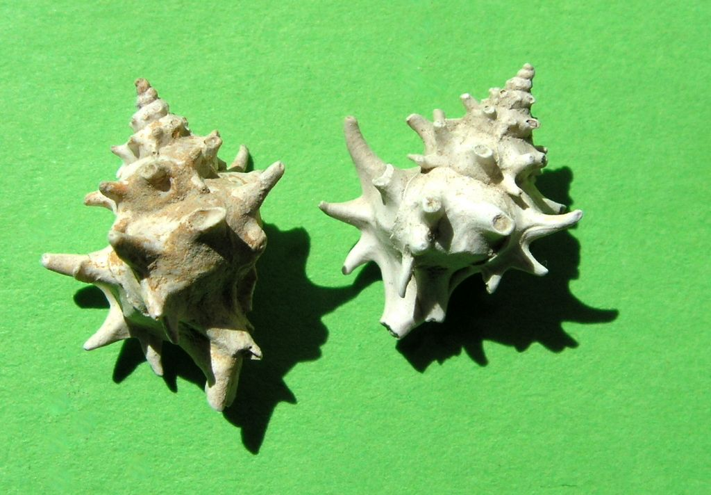 Muricidae - † Typhis (Hirtotyphis) horridus (Brocchi, 1814) - Plaisancien (Ligurie) Typhhorr10