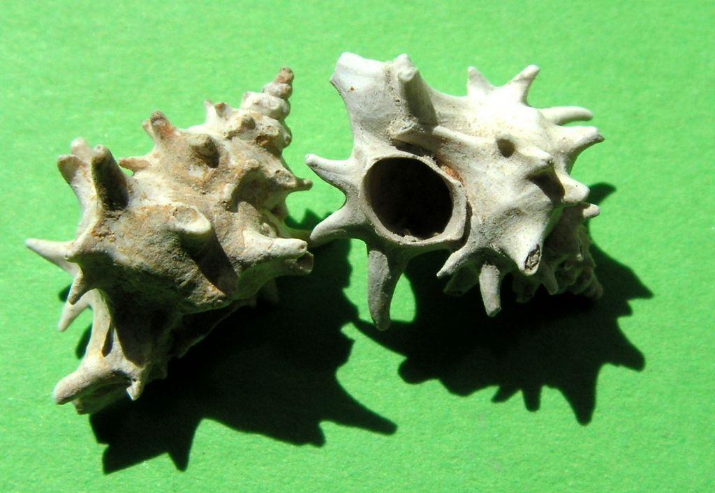 Muricidae - † Typhis (Hirtotyphis) horridus (Brocchi, 1814) - Plaisancien (Ligurie) Typhhorr11