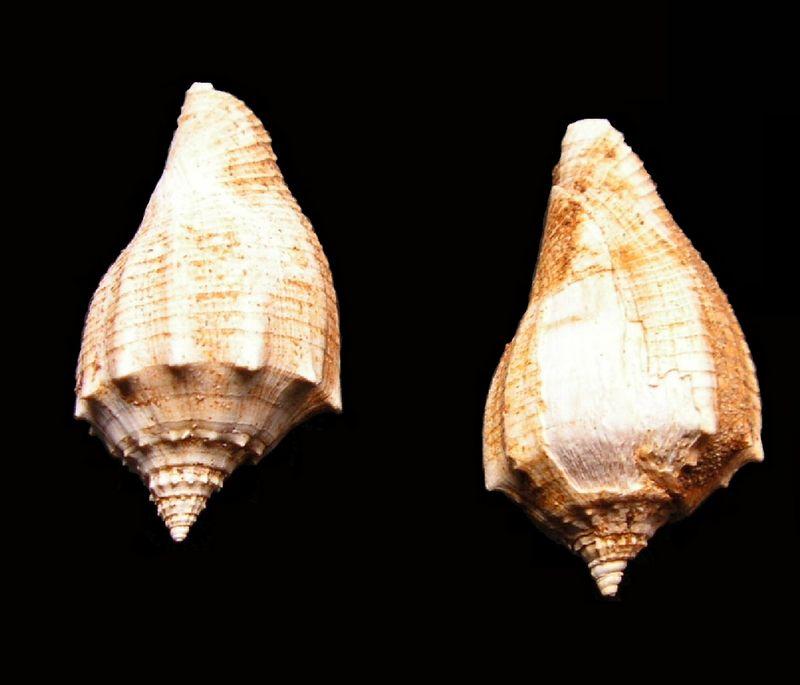 Volutidae - † Athleta (s.str.) ficulina (Lamarck, 1811) - Burdigalien (népioniques = juvéniles) Voluficu10