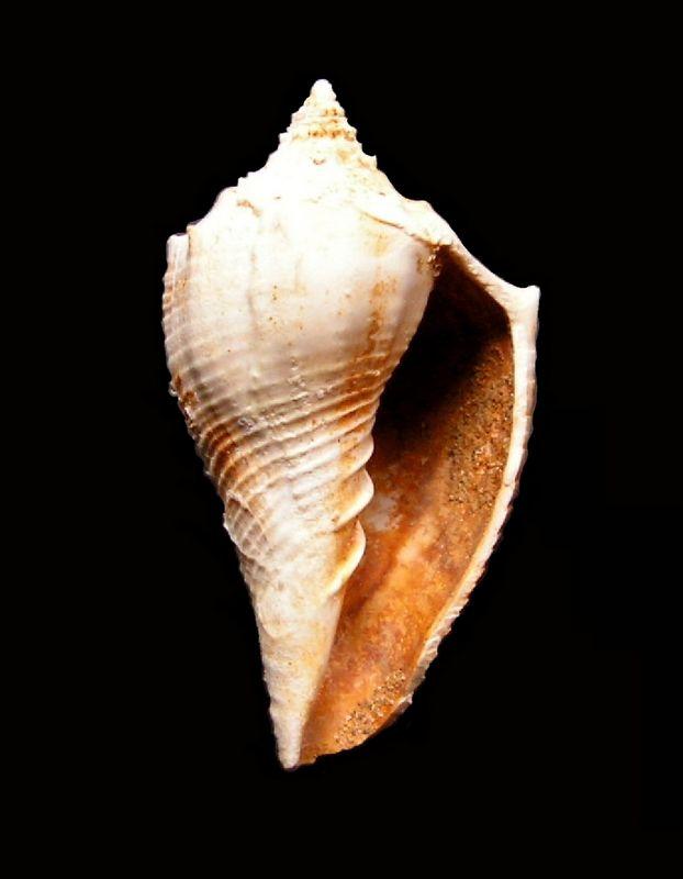 Volutidae - † Athleta (s.str.) ficulina (Lamarck, 1811) - Burdigalien (népioniques = juvéniles) Voluficu13