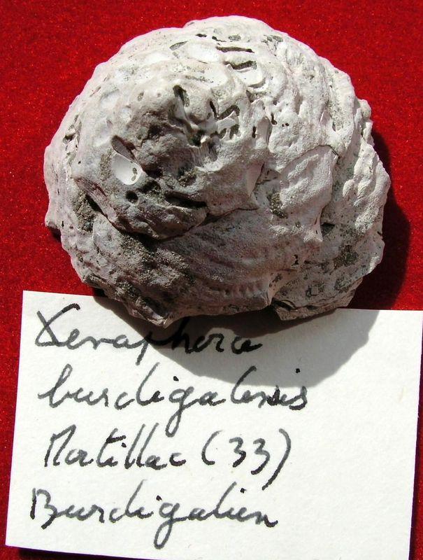 Xenophoridae - † Xenophora burdigalensis (Grateloup, 1847) - Burdigalien de Martillac Xenoburd10