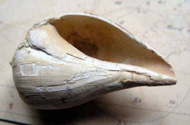 Melongenidae - † Sycum pirus (Lamarck, 1804) - (Bassin Parisien) Sycum_pirus3