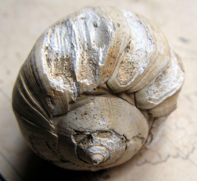 Melongenidae - † Sycum pirus (Lamarck, 1804) - (Bassin Parisien) Sycum_pirus_0