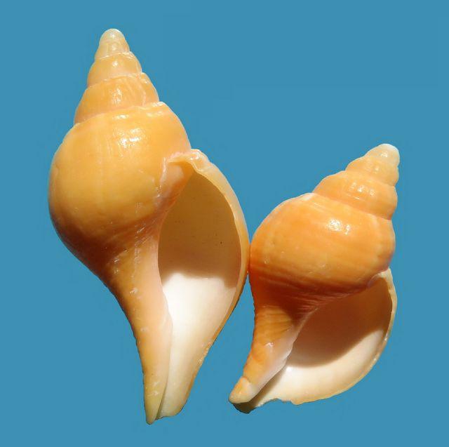 Fasciolaria tulipa - (Linnaeus, 1758) Fasctulij11